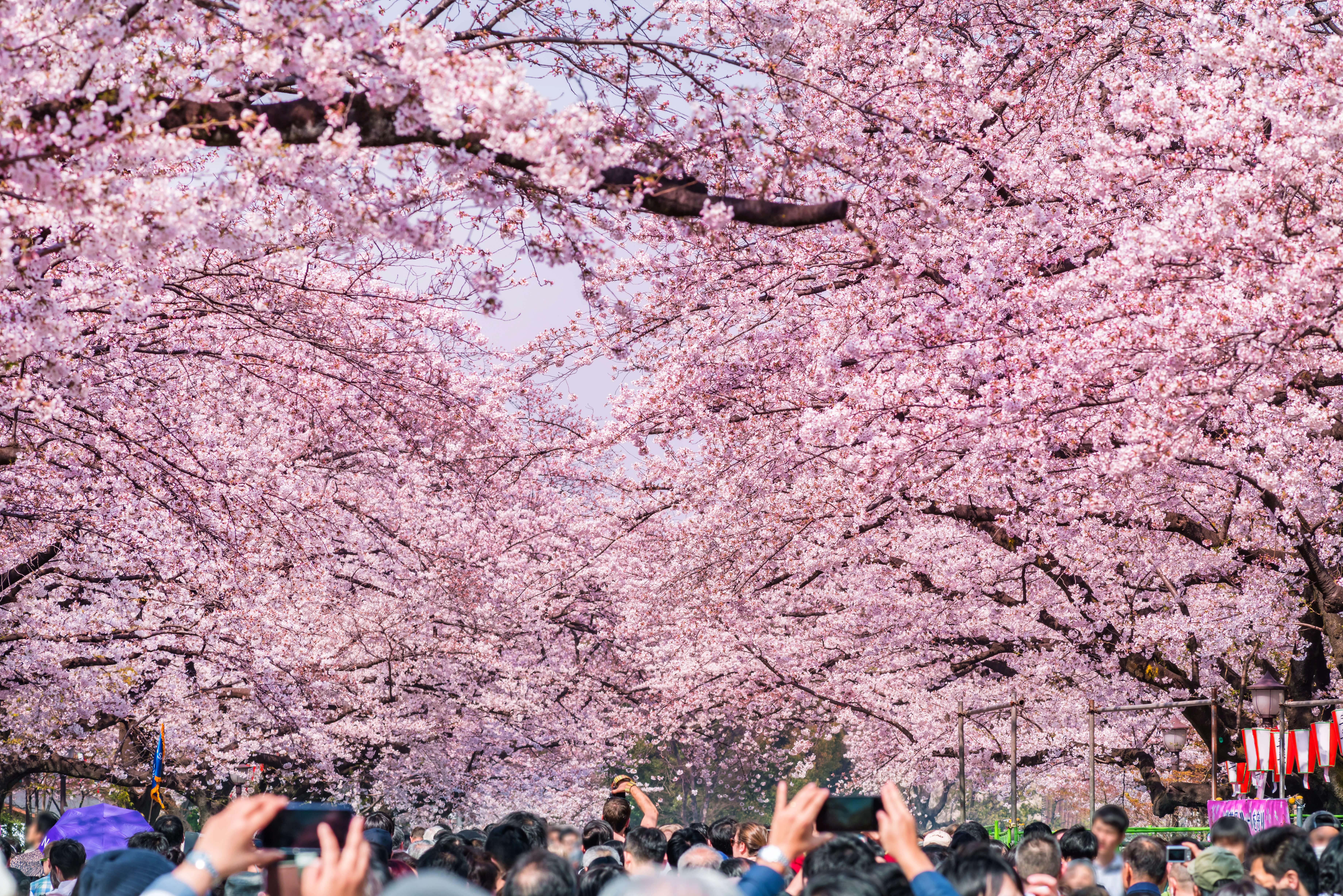 上野恩賜公園の桜並木